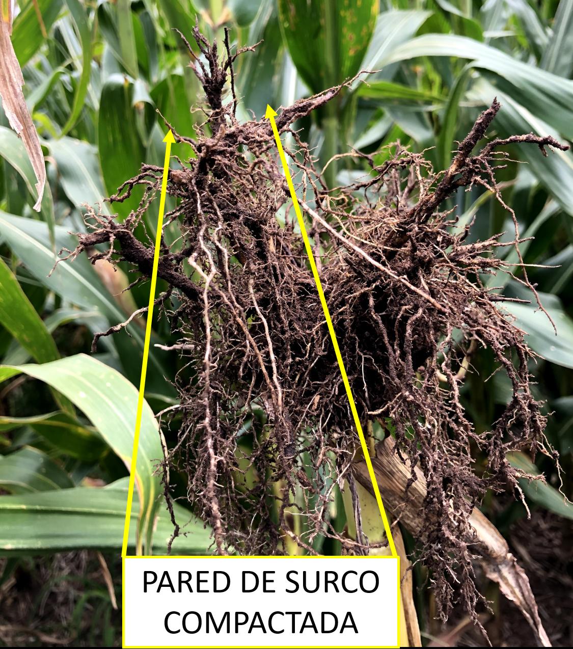 Compactación en raíces por exceso de presión sobre las paredes del surco. Estado avanzado de cultivo.